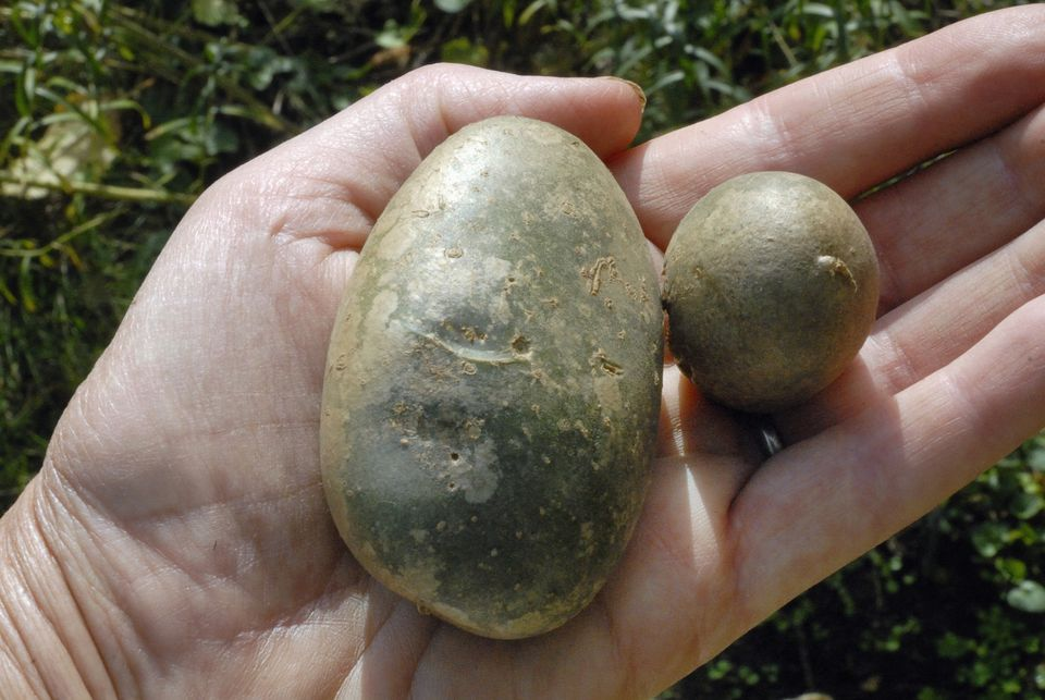 Green potatoes with elevated levels of Solanine