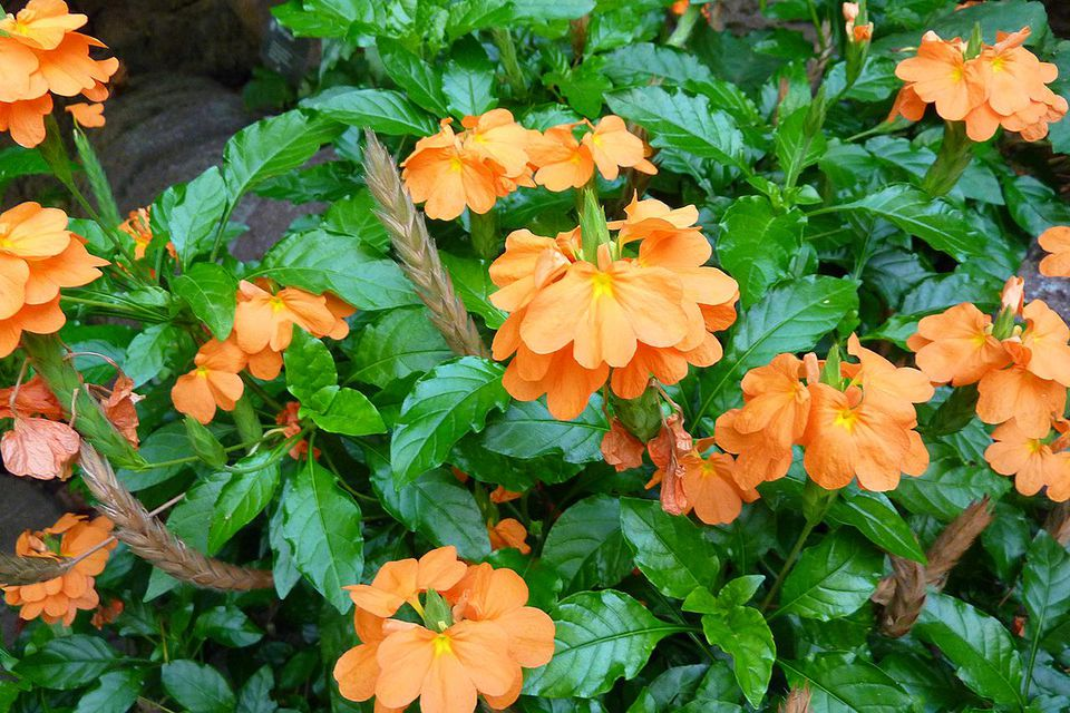 Crossandra infundibuliformis flowering in the Temperate House of the Missouri Botanical Garden