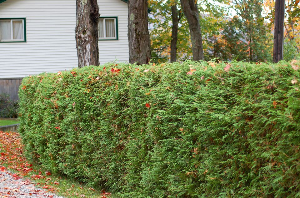 Image: hedge made of arborvitae shrubs.
