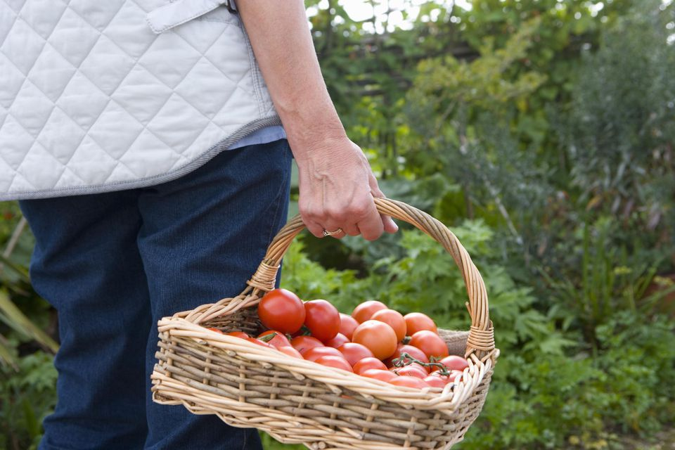Hobby farmer holding basket of tomatoes.