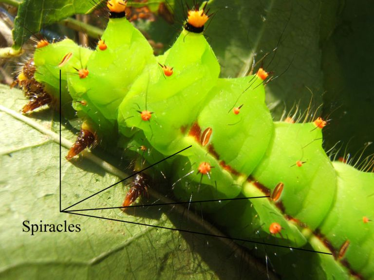 The spiracles, openings that allow gas exchange in insects, are visible on this large caterpillar.