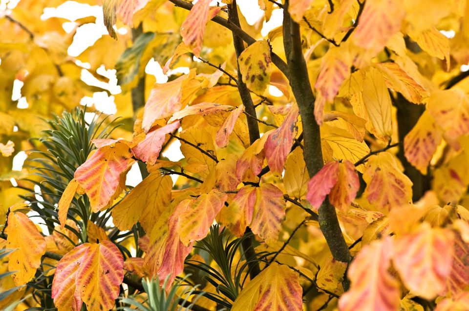 Autumnal Perisan Ironwood (Parrotia persica)