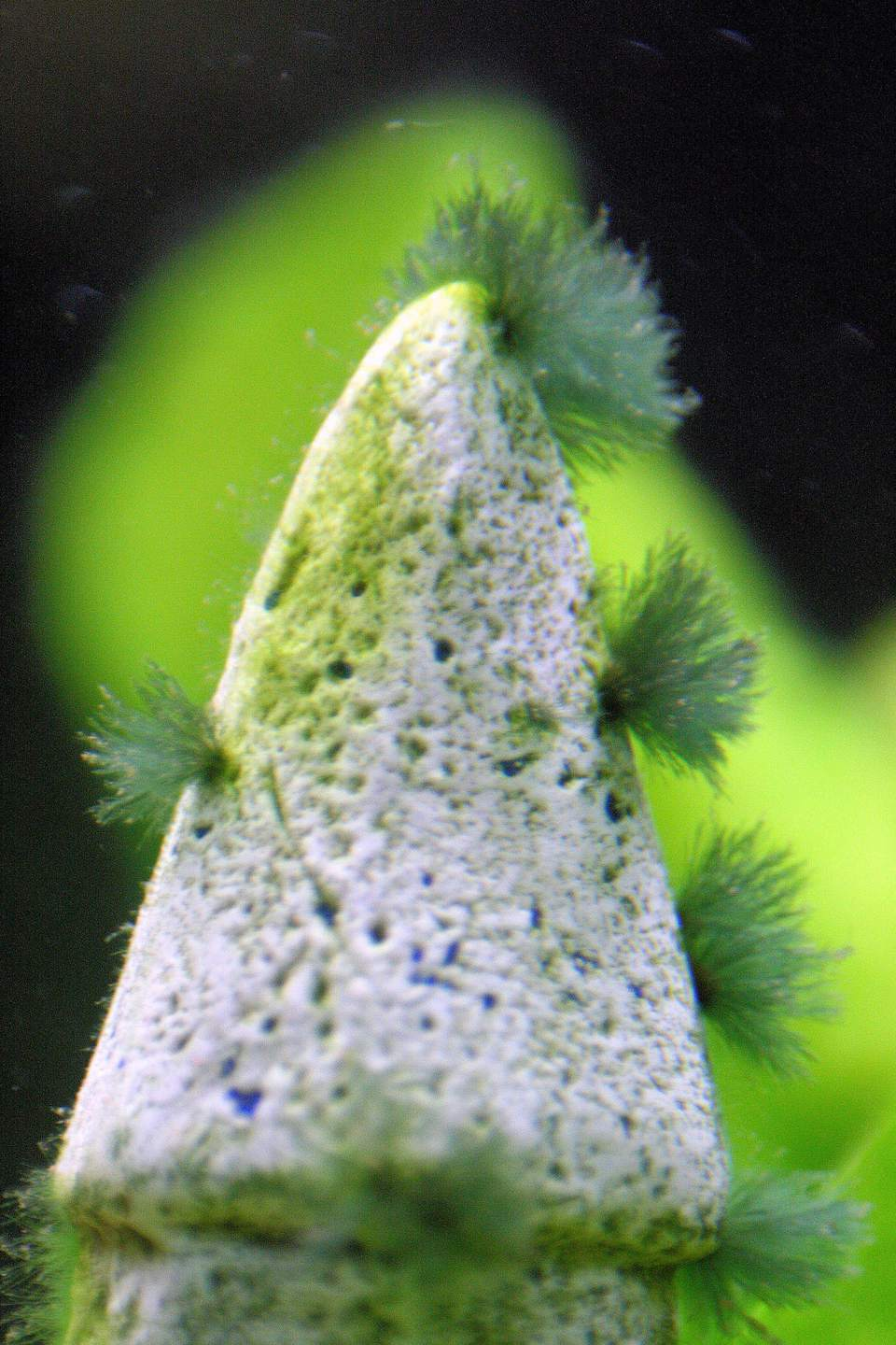 Causes and cures for beard algae in your aquarium for What causes algae in fish tanks