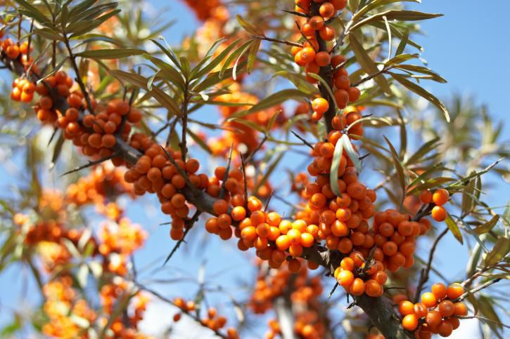 Sea buckthorn berries.