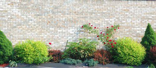 Photo of rose bush growing near a house.