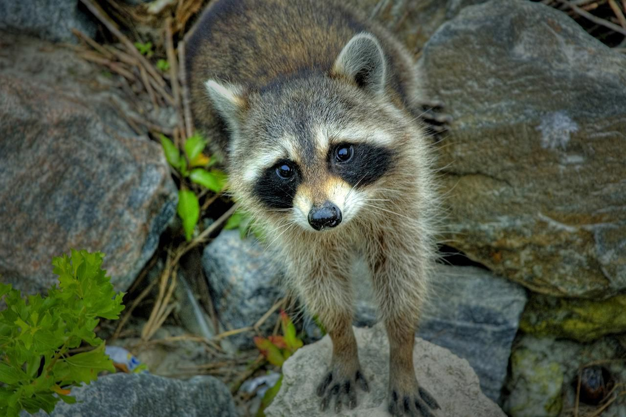 wildlife safety tips raccoons