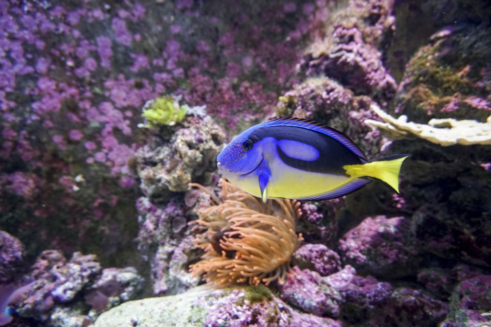Yellow Belly Blue Tang