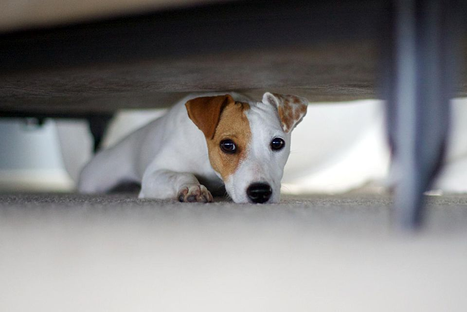 Jack Russell Terrier hiding under the bed with guilty look.