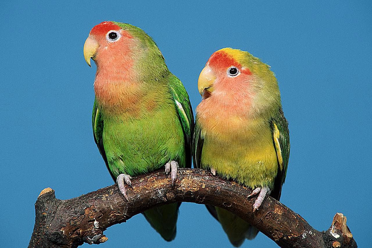 Facts About Lovebirds for Pet Owners