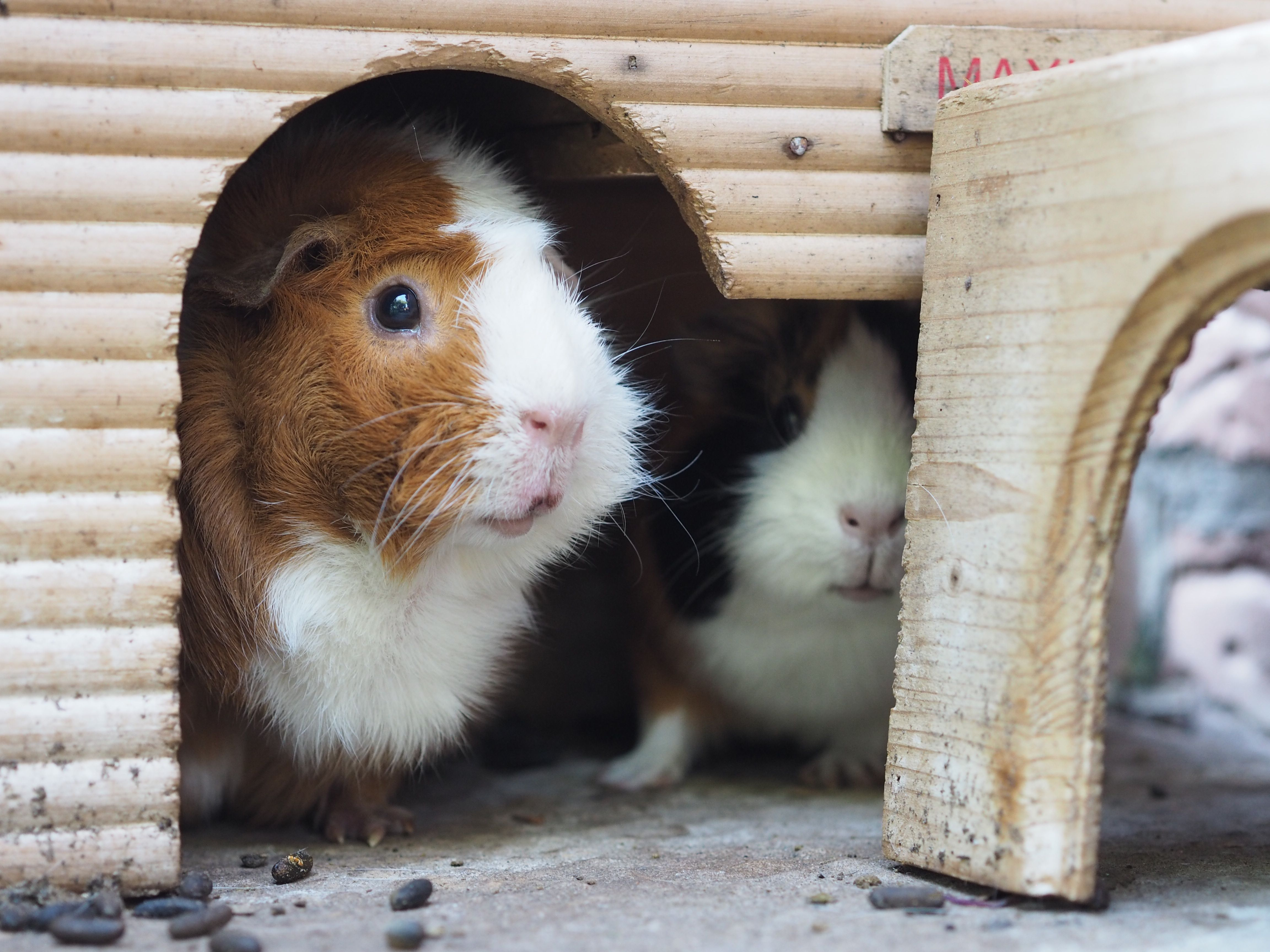 The 9 Best Basic Guinea Pig Supplies to Buy in