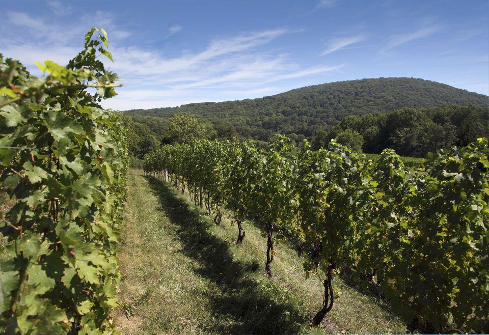 Young chardonnay vines, Linden vineyards, Virginia, USA