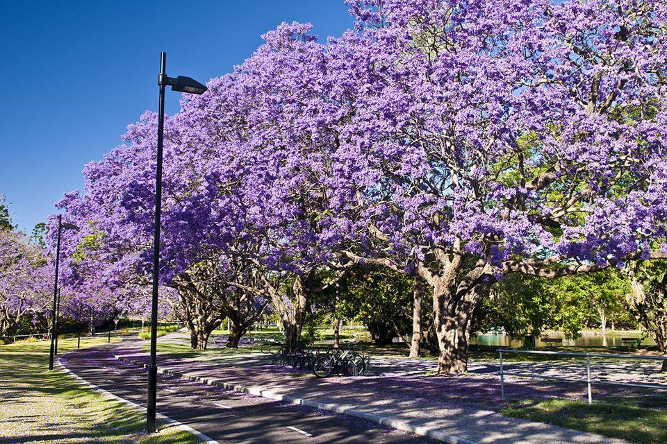 Flowering Jacaranda trees, University of Queensland, Brisbane, Qld., Australia
