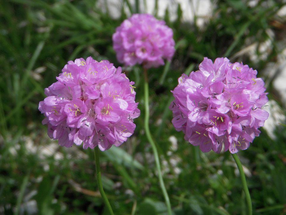Thimble Flower (Gilia)