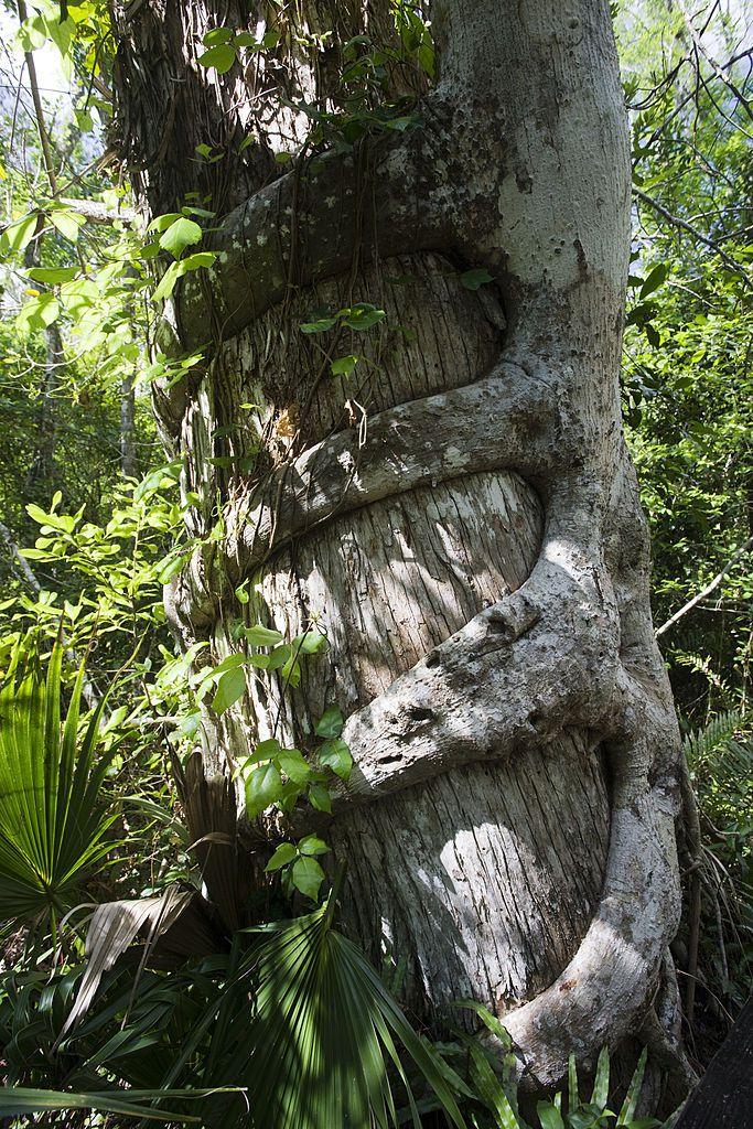 Strangler fig, Florida Everglades