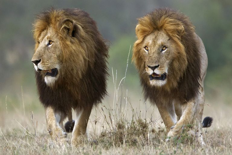 Two lions (Panthera leo) walking along grasslands. Photographed in Kenya's Masai Mara National Reserve.