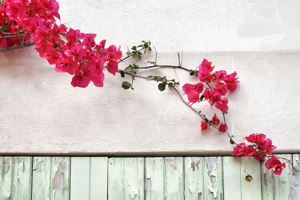 Pink Flowers Blooming On Wall