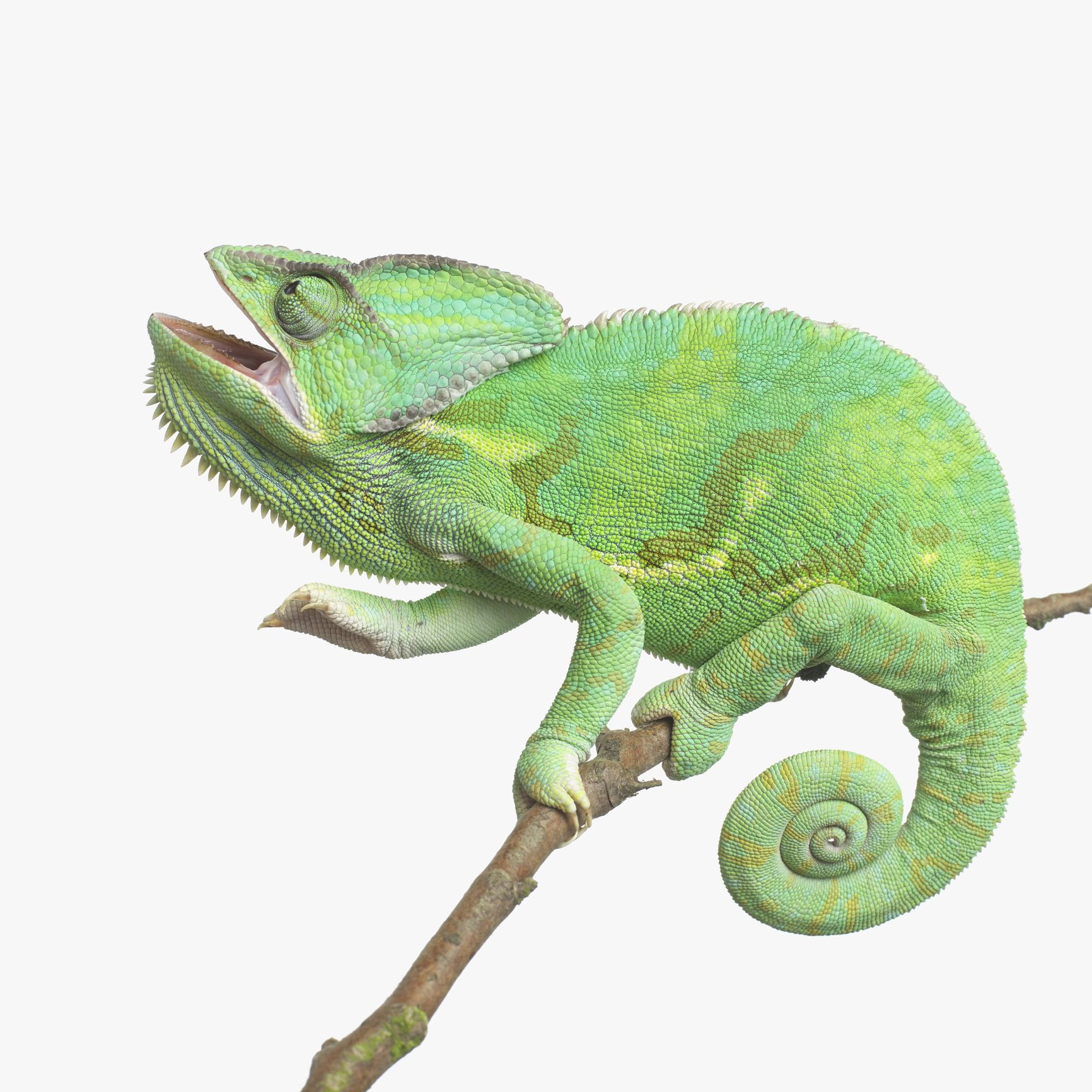 Types Of Chameleons Choosing A Pet Chameleon