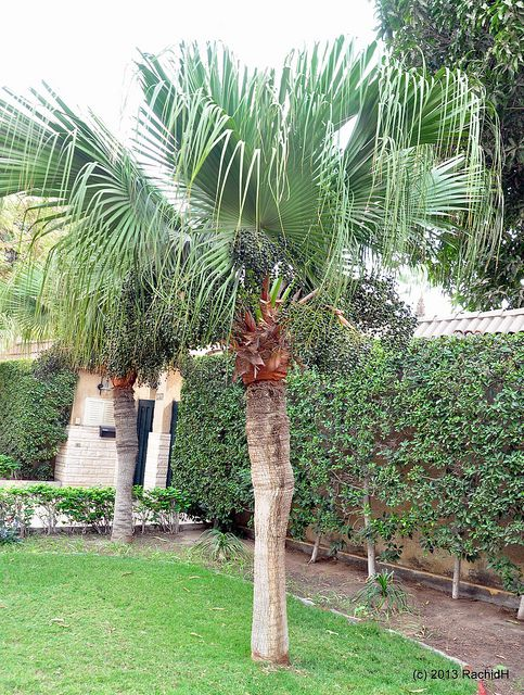 Growing the Chinese Fan Palm