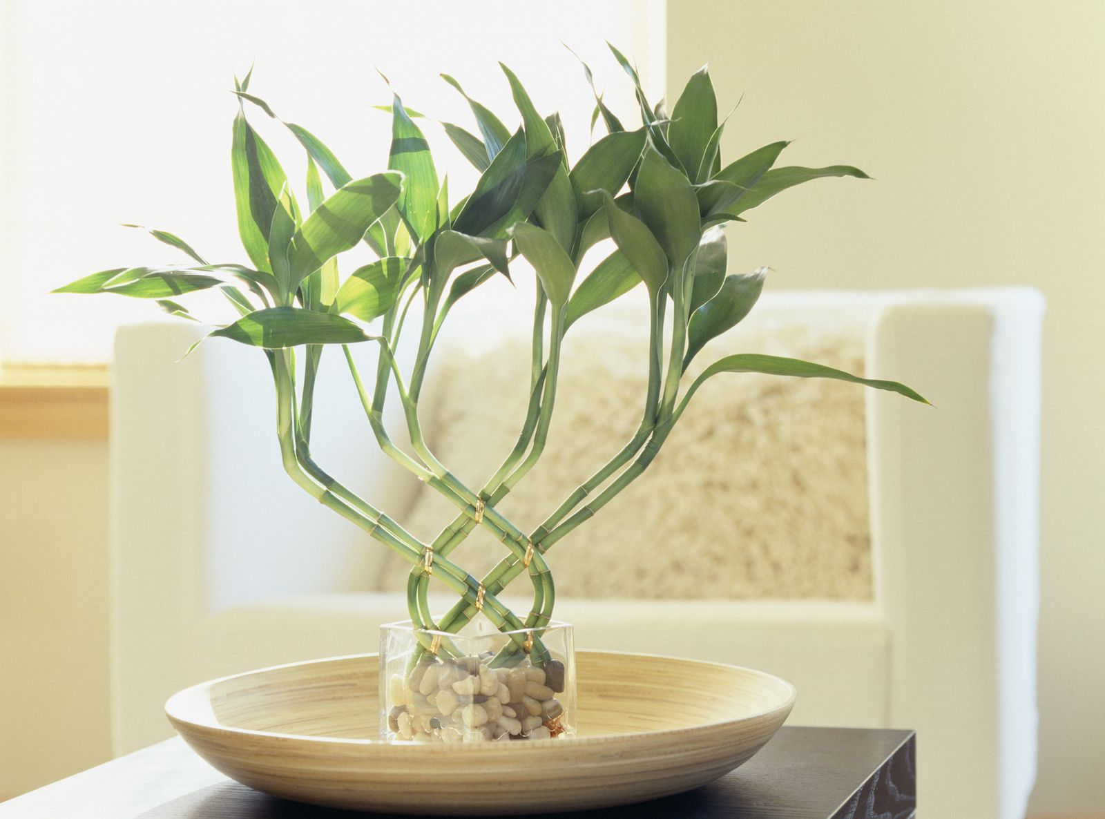Lucky bamboo meaning and use for good feng shui for Feng shui home decorations