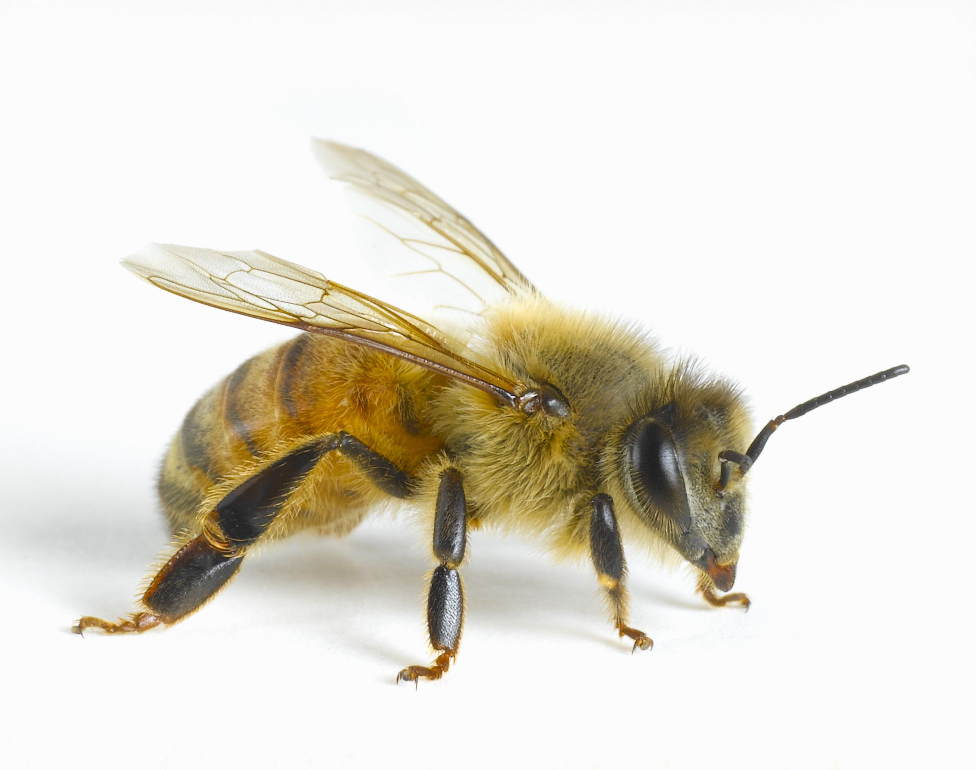 Honey Bees, Apis mellifera - photo#23