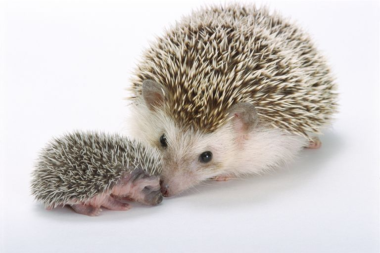 The tin hedgehog chemistry experiment produces tin crystals that look like a metallic hedgehog.