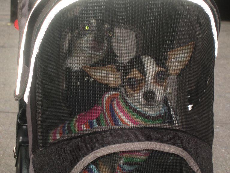 Estos chihuahuas están listos para su viaje.