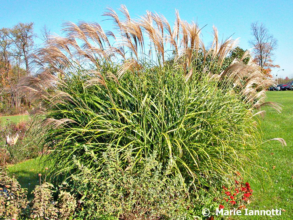 How to choose an ornamental grass for Ornamental grasses that bloom