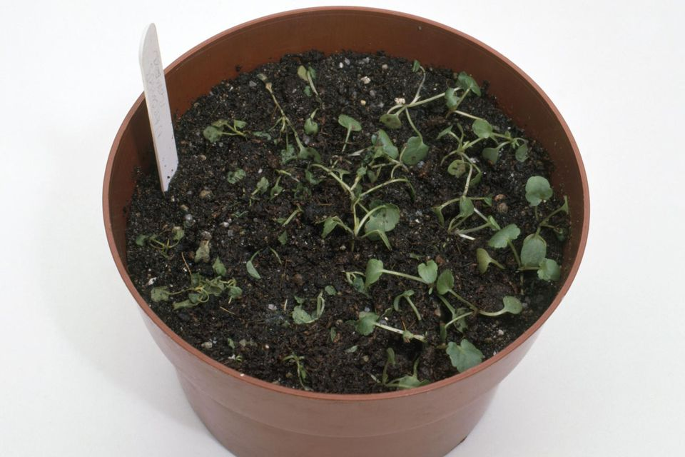 Seedlings in a pot affected by damping off