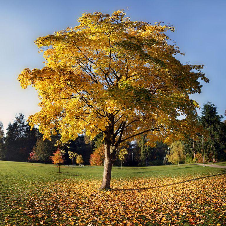 Bi Yellow Tree in the Park Tulip Poplar in..