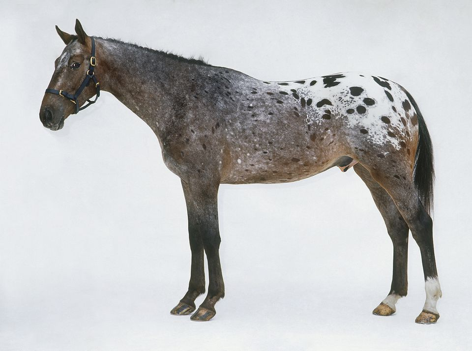 A spotted Appaloosa horse.