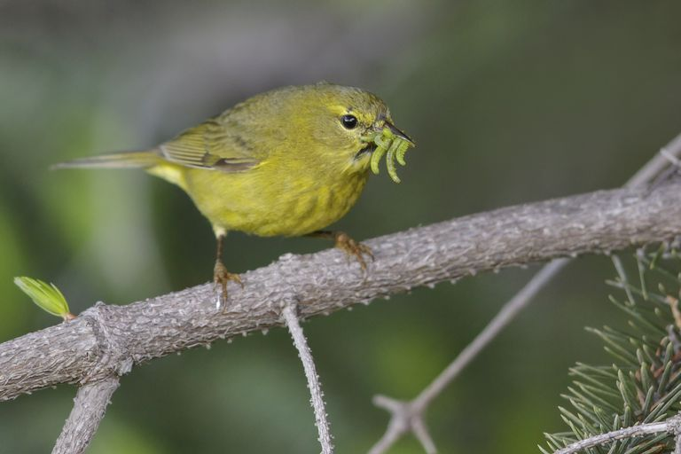 Warbler eating insects.