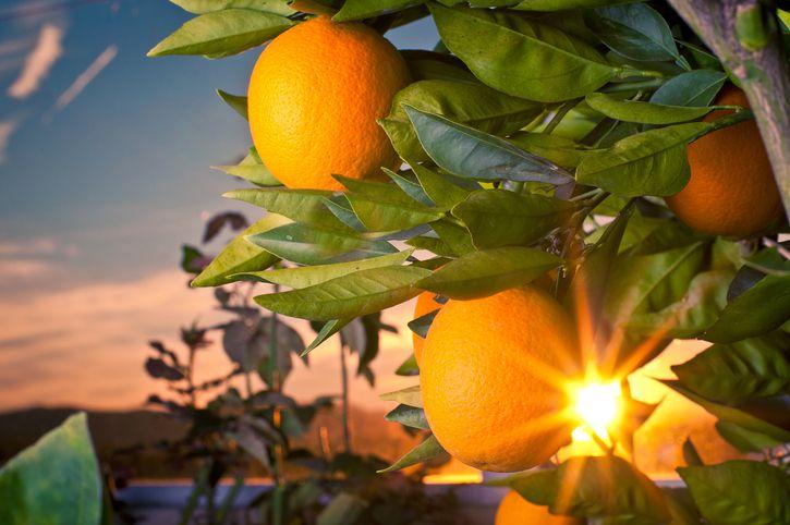 Mandarin oragnes