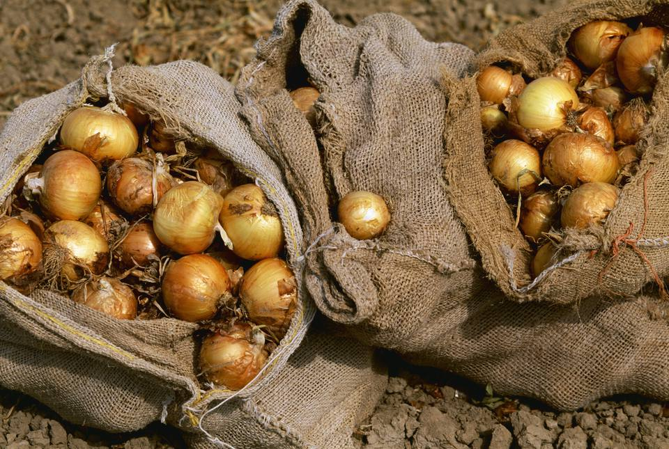 Agriculture - Yellow Onions harvested and in sacks / Colorado, USA.