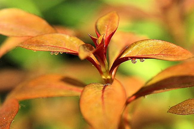 Ludwigia repens - Red Repens