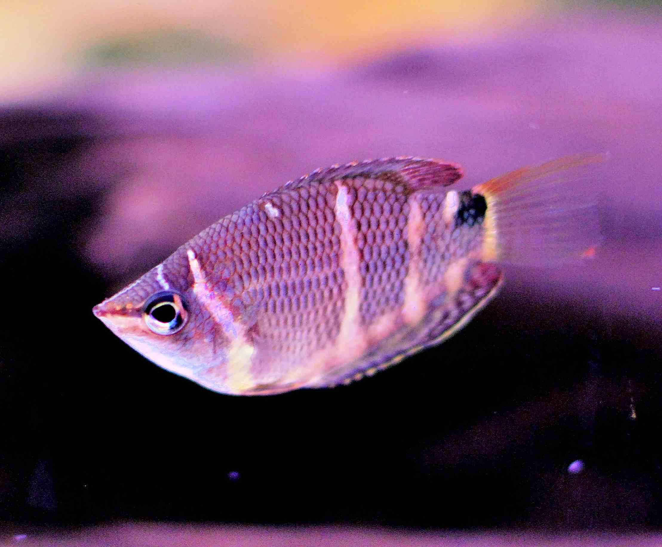 Different Species of Gourami Fish
