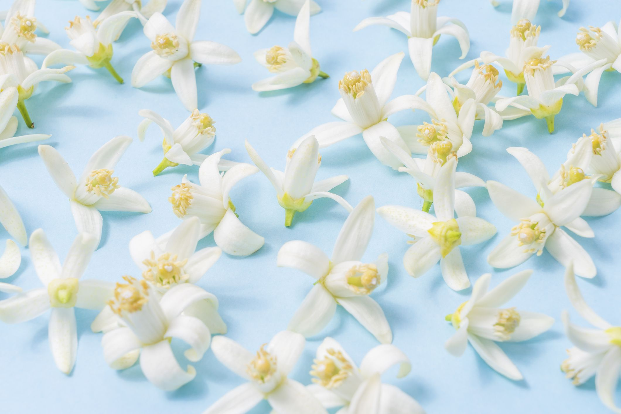 Neroli Essential Oil The Benefits And Uses