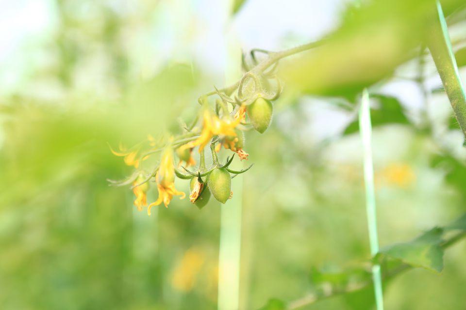 Close up of tomato blossom
