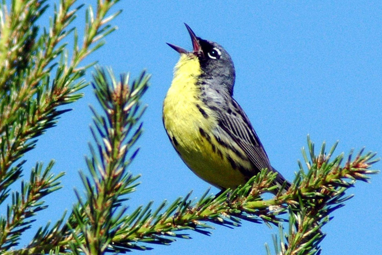 hear singing birds at dawn learn why they do it