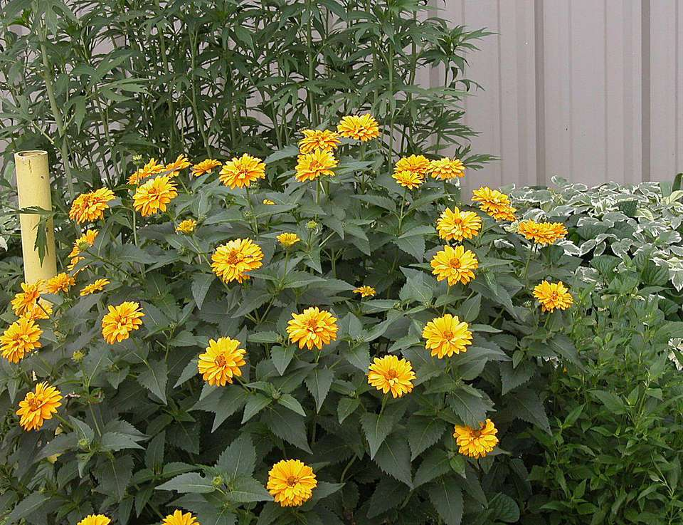 How To Grow Heliopsis Flowers