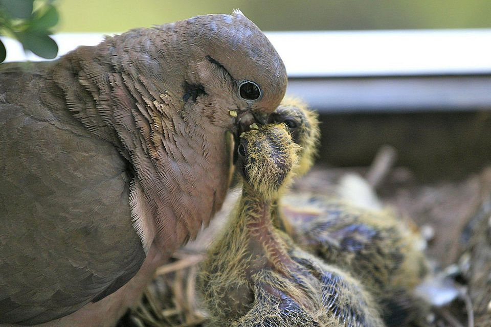 Mourning Dove Feeding Nestlings
