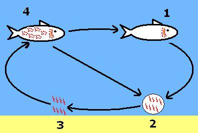 Saltwater Ich (Cryptocaryon) Life Cycle