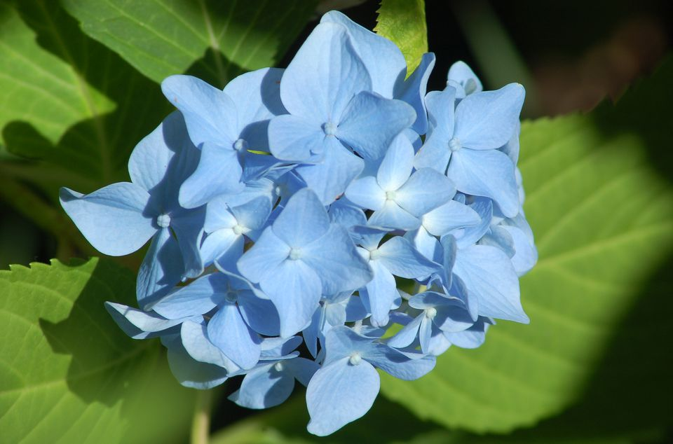 My image shows 'Nikko Blue' hydrangea. This bush has blue flowers.