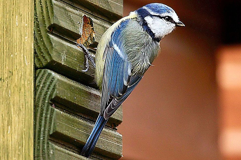 Blue Tit at Bird House