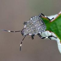 Late instar nymph of the brown marmorated stink bug.