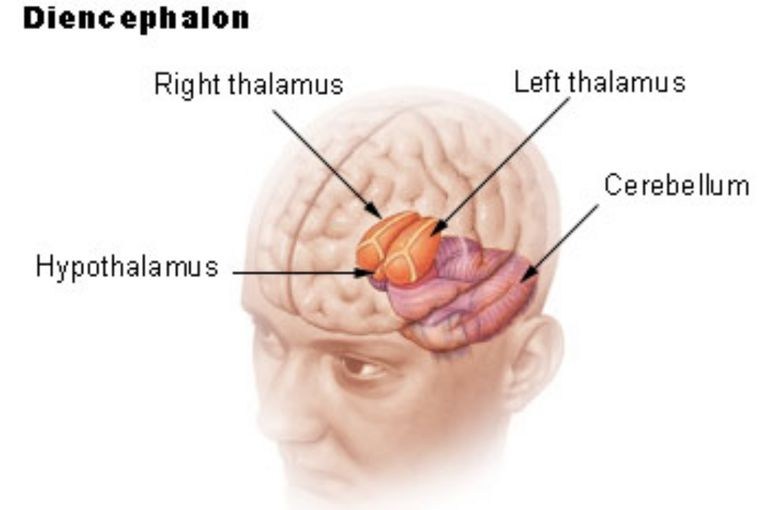 Anatomy of diencephalon