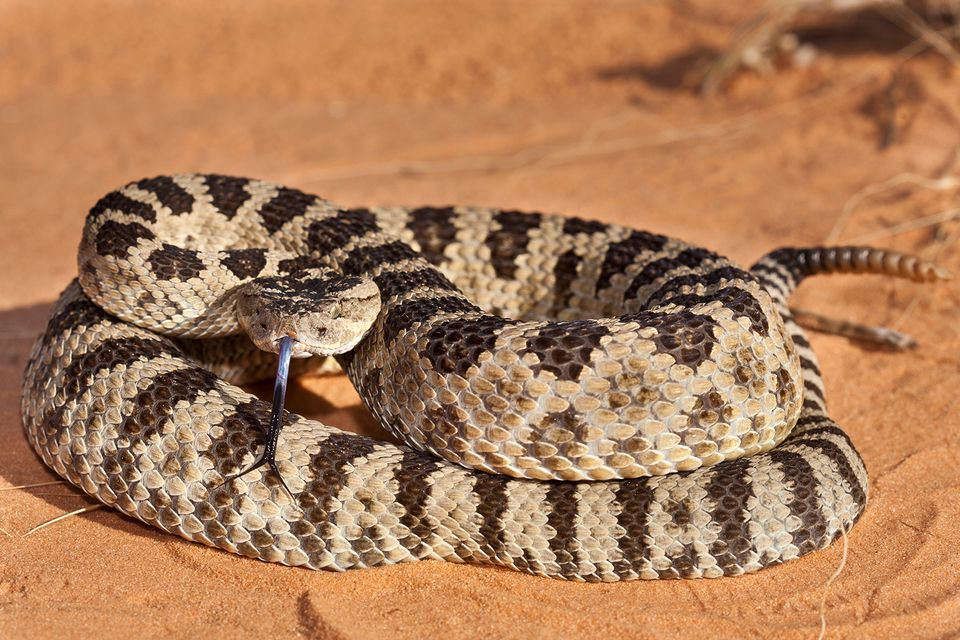 how to find rattlesnakes in texas