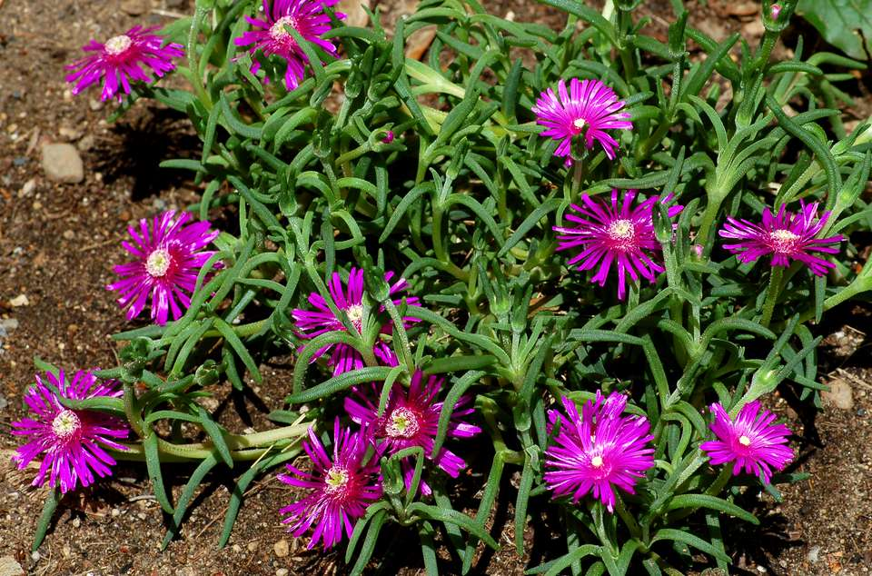Purple ice plant, is a ground cover for fast-draining spots