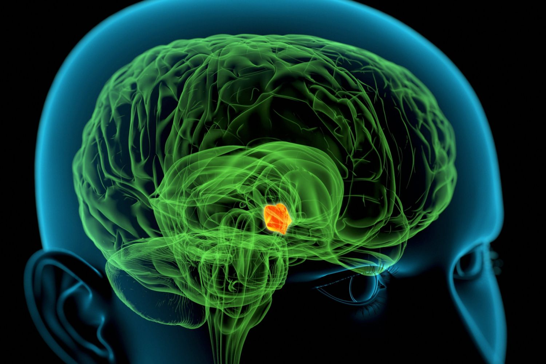 Hypothalamus - Function, Hormones, and Structure