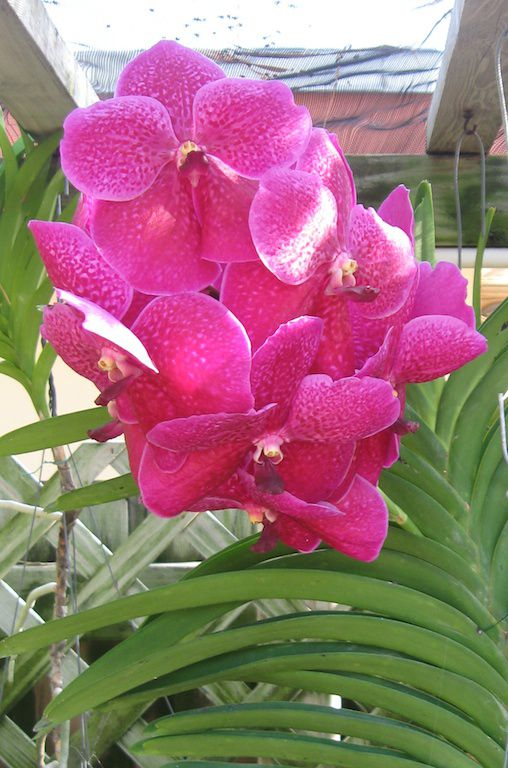Growing Vanda Orchids In The Home
