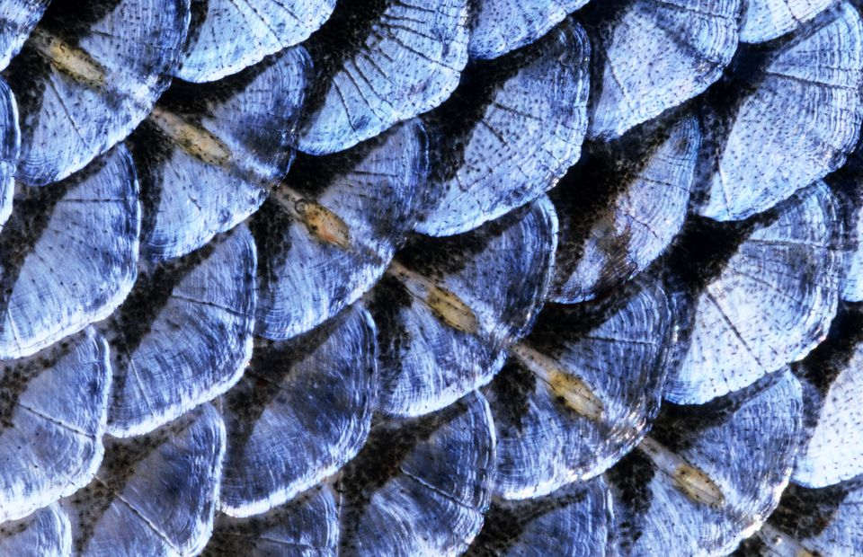 Fish scale close-up